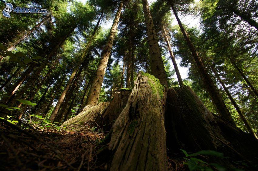 forest, stump