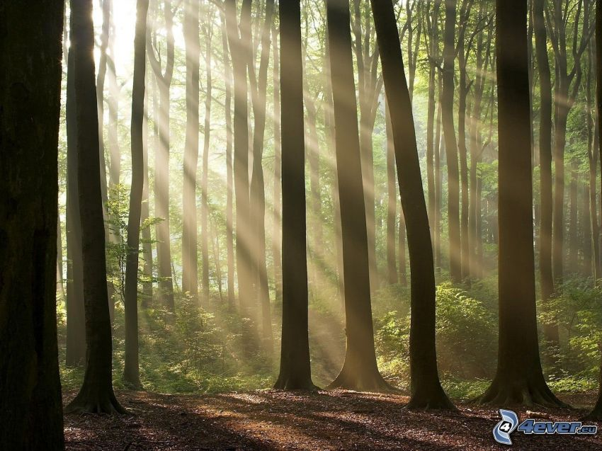 forest, sunbeams