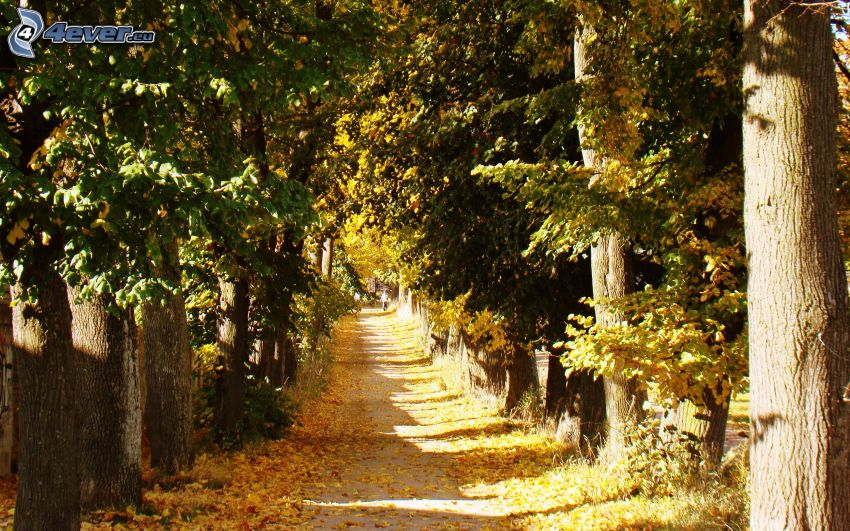 forest path, autumn trees, yellow leaves