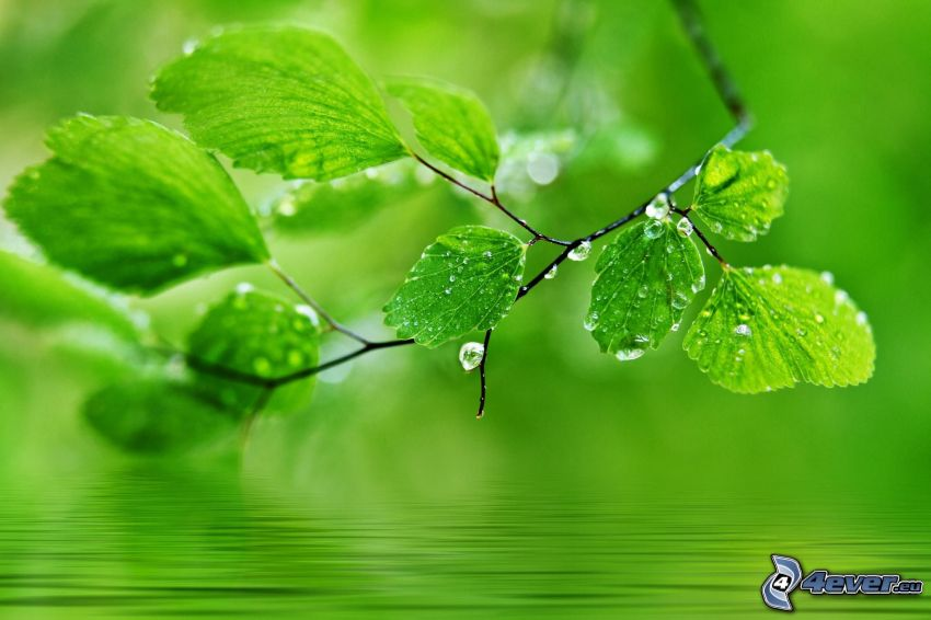 green leaves, dew-covered leaves, water surface, macro