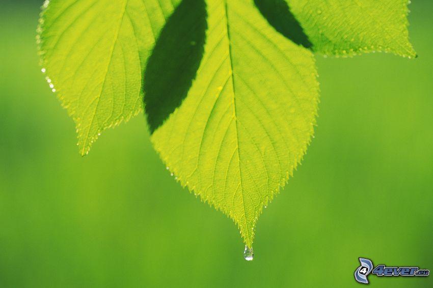 green leaves, drop of water