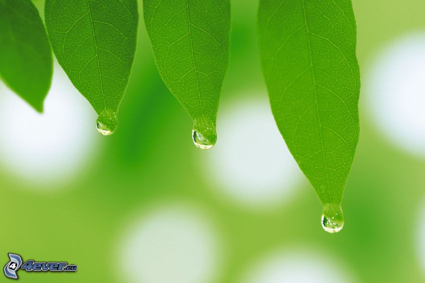 green leaves, drops of water