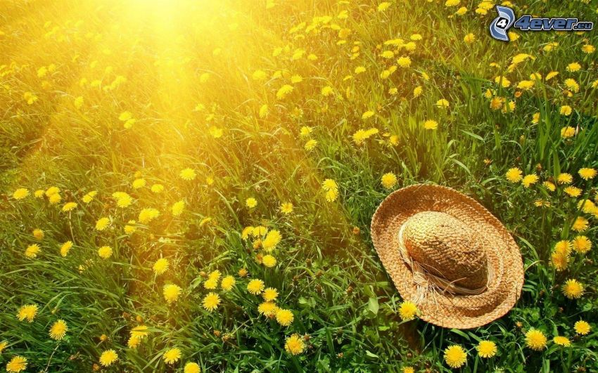 hat, dandelion, grass, sunbeams