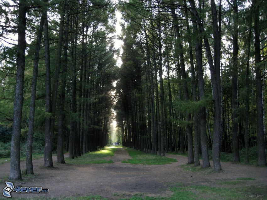 coniferous forest, avenue of trees