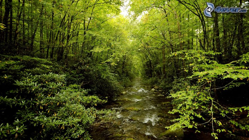 creek in forest, green trees