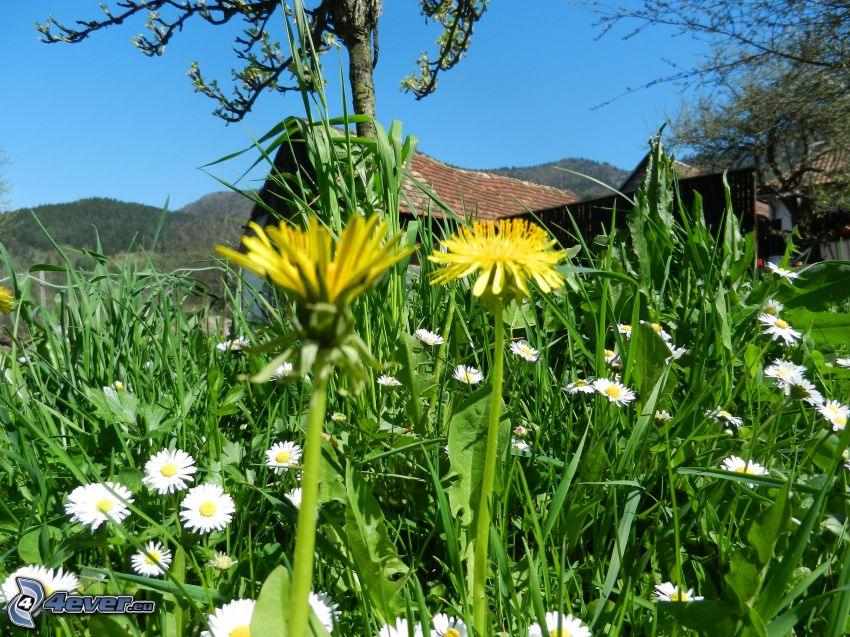 dandelion, grass, cottage