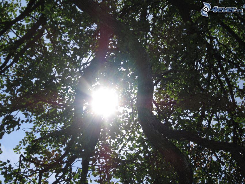 deciduous tree, sun, branches