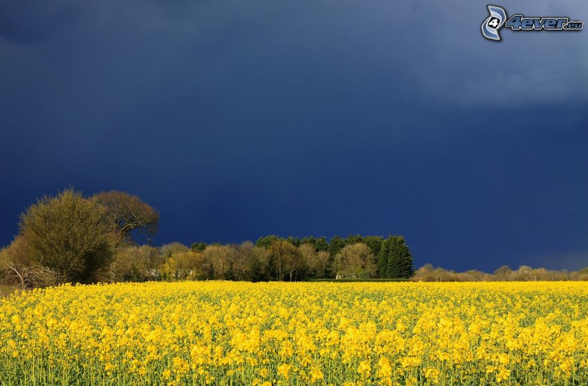 field, rapeseed, trees