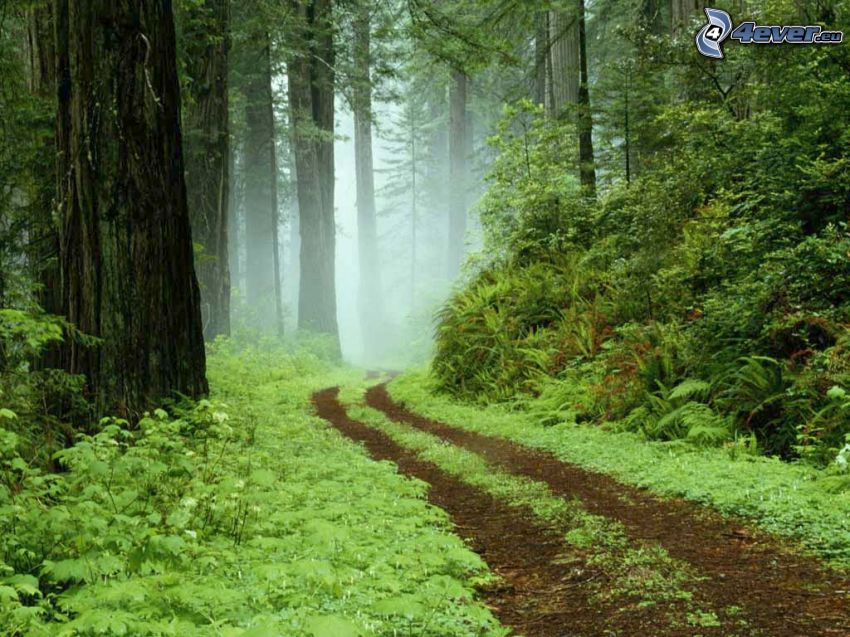 forest road, greenery, forest, trees, ground fog