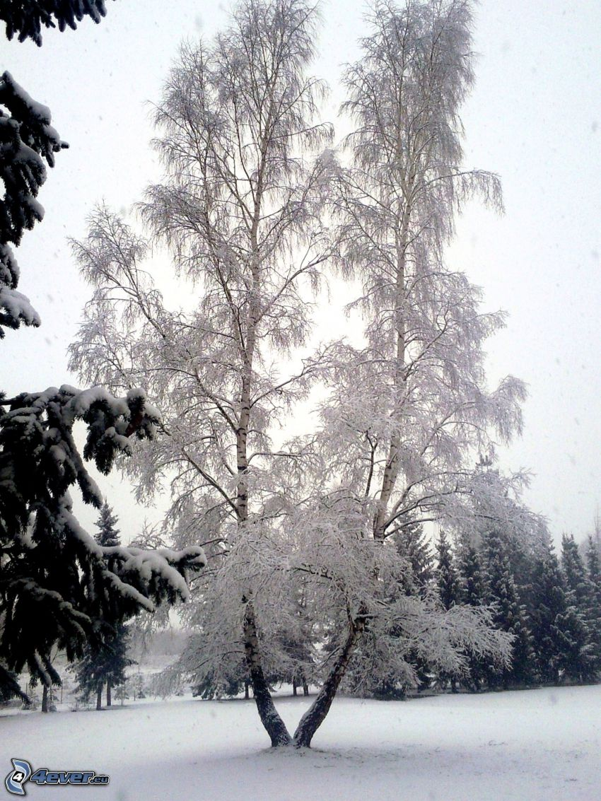 frozen tree, birch, snow, snowy trees