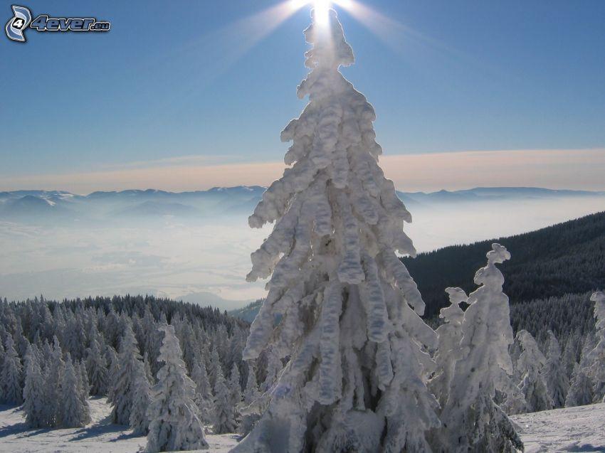 frozen tree, coniferous trees, snow, forest, mountains, winter, inversion, sunbeams
