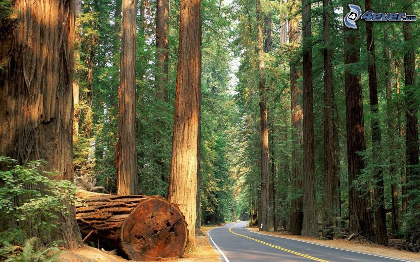 Humboldt Redwoods State Park, USA, road through forest, sequoia, forest, road