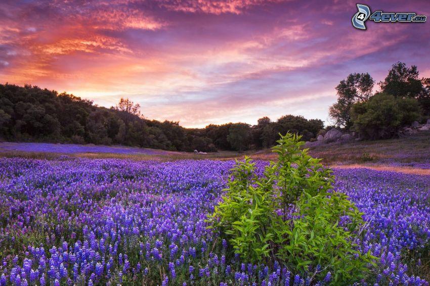 lavender field, bush, evening sky