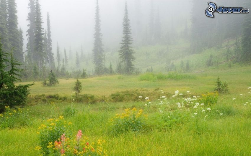meadow, flowers, coniferous trees, fog