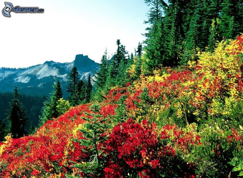 Mount Rainier, meadow, hill