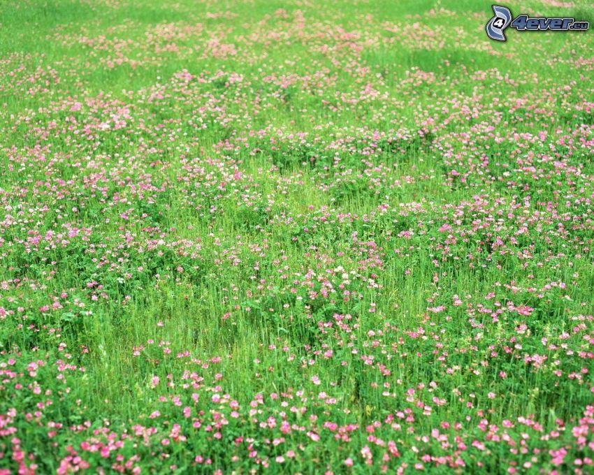 purple flowers, meadow, grass