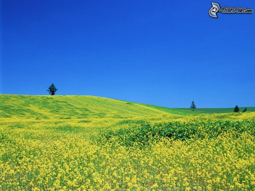rapeseed, field, meadow, yellow flowers
