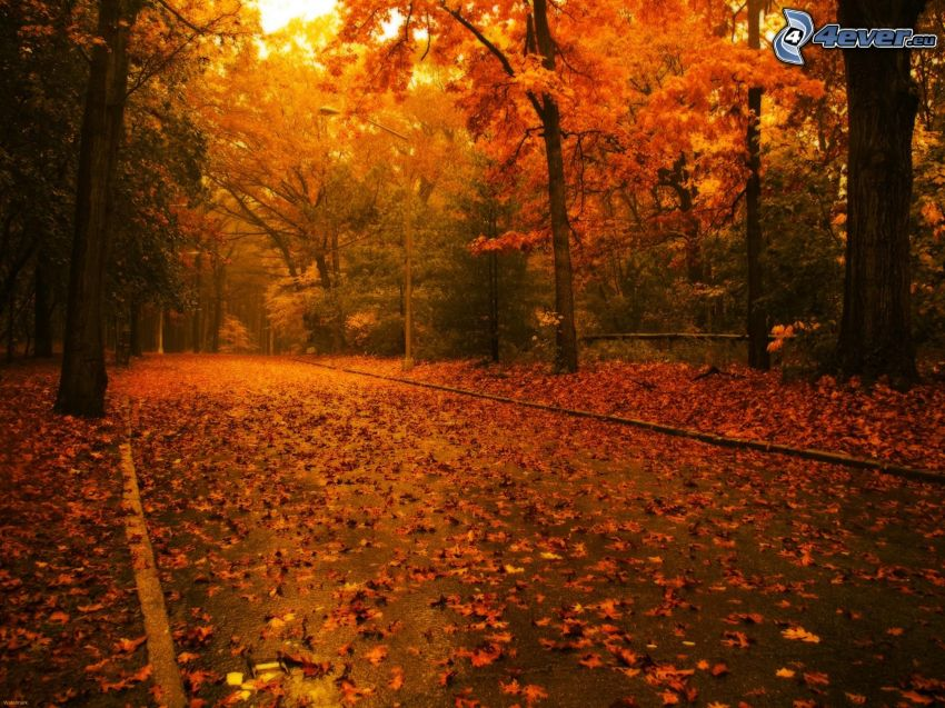 road through forest, yellow trees, dry leaves, autumn, colorful autumn trees