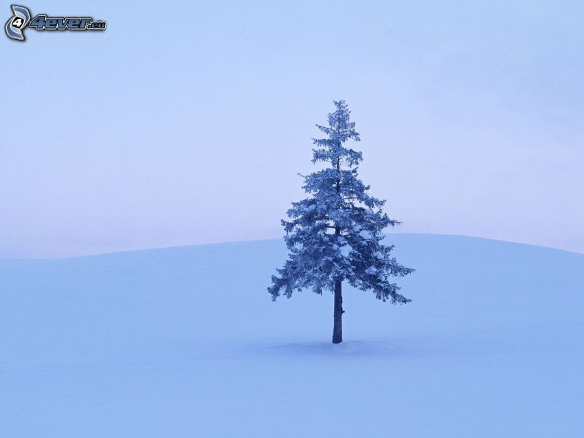 snowy conifer, snow