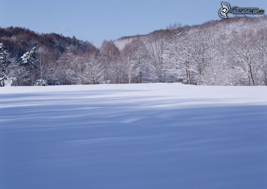 snowy meadow, trees, forest, snow