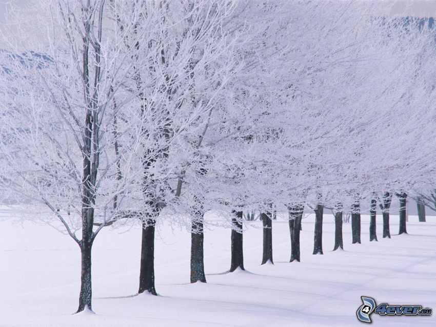 snowy trees, tree line, winter, snow