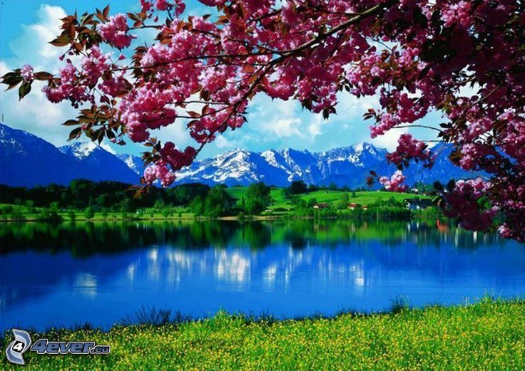 spring landscape, flowering tree, lake, snowy mountains