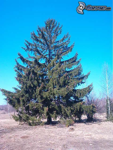 spruce, conifer, spreading tree