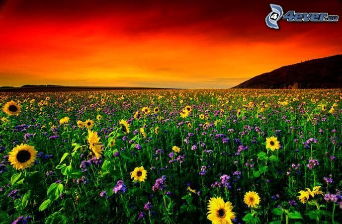 sunflower field, red sunset, flowers