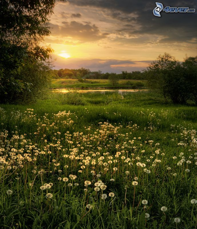 sunset in the meadow, flowering dandelions, grass, lake