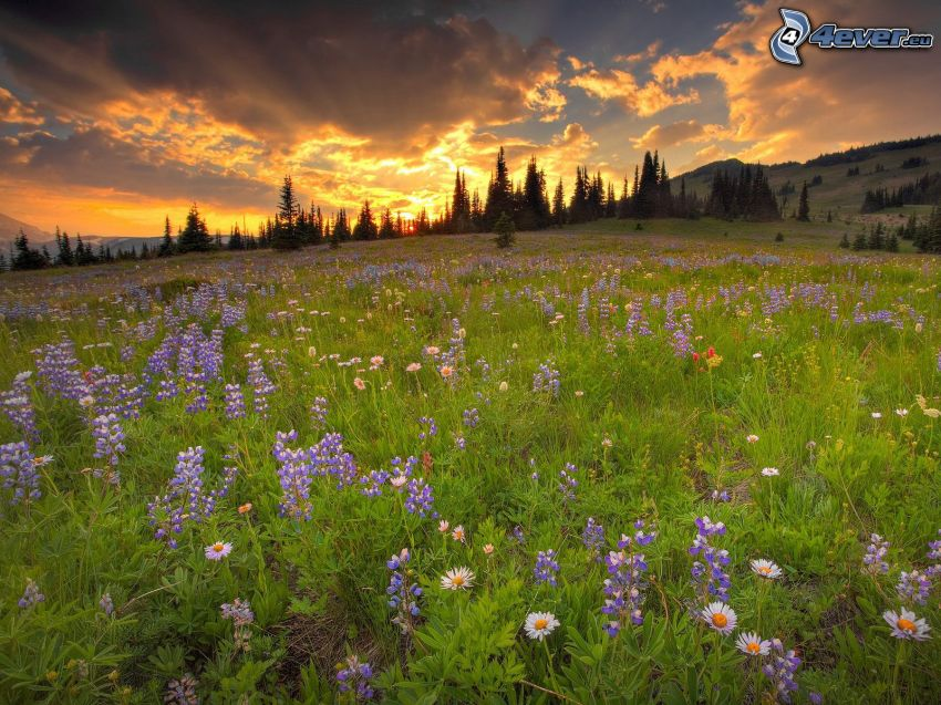 sunset in the meadow, trees, clouds, purple flowers