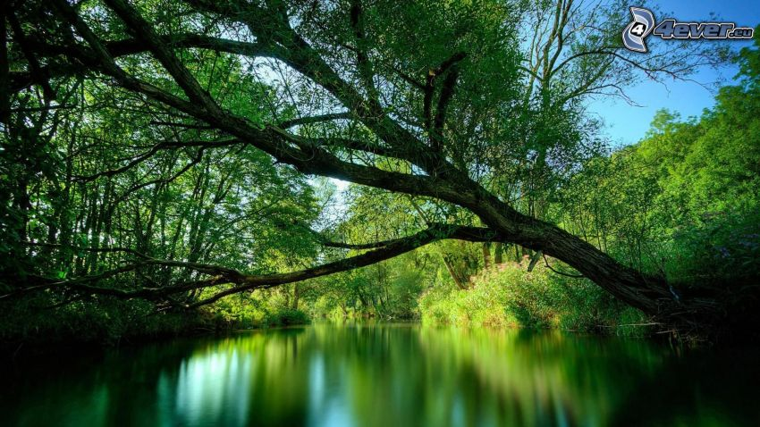 tree over the lake, lake in the forest, greenery