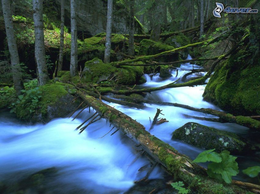 wild forest stream, forest, logs