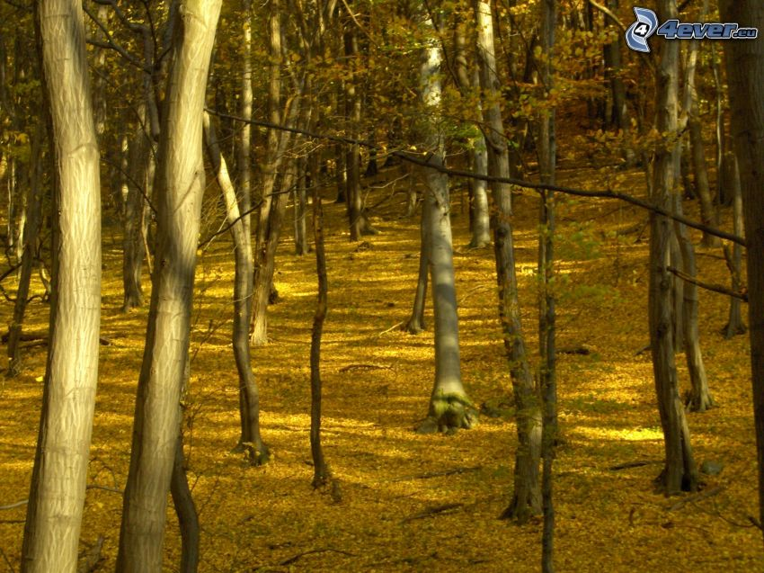 yellow autumn forest, yellow leaves, trees, logs