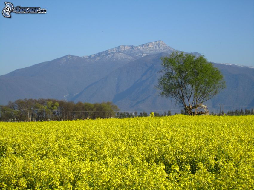 yellow field, rapeseed, tree, rocky mountains