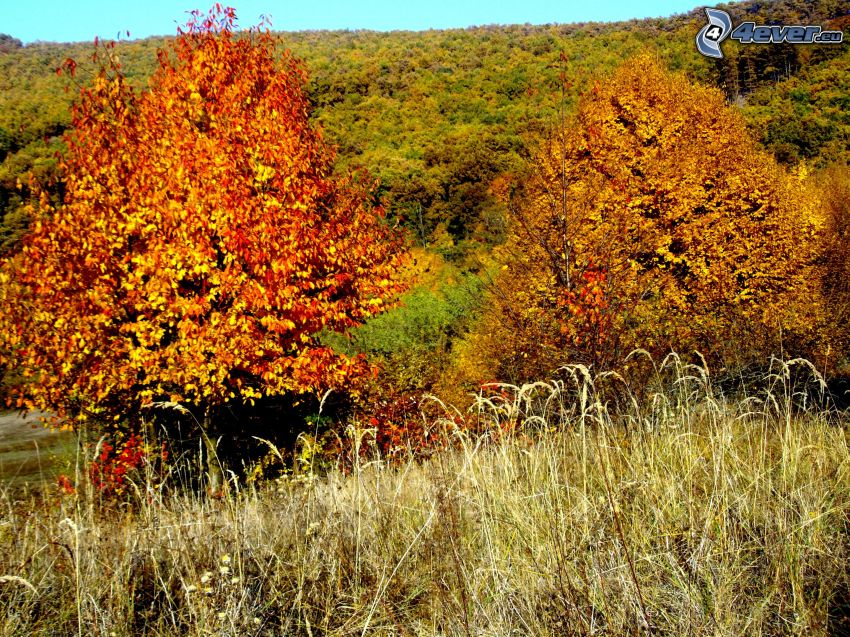 yellow trees, dry grass, forest, autumn