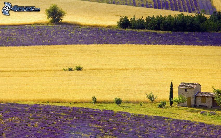 lavender field, house
