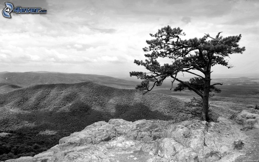 lonely tree, mountains, black and white photo