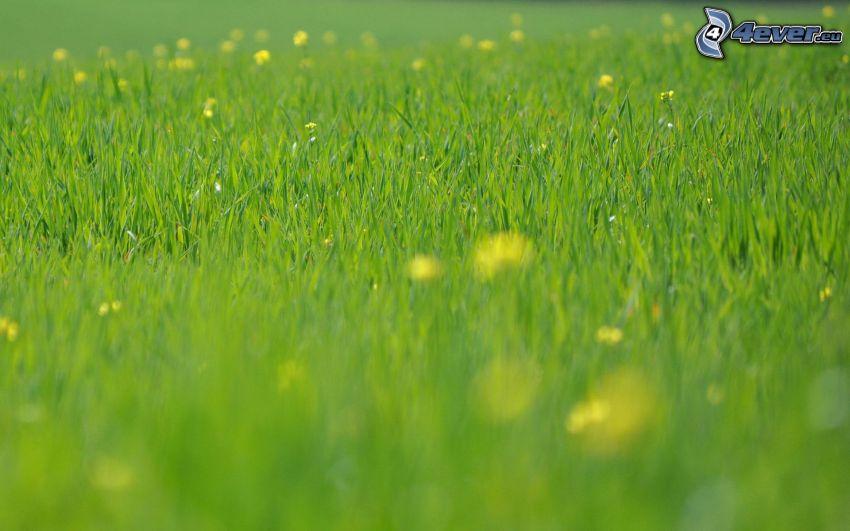 meadow, green grass, dandelion