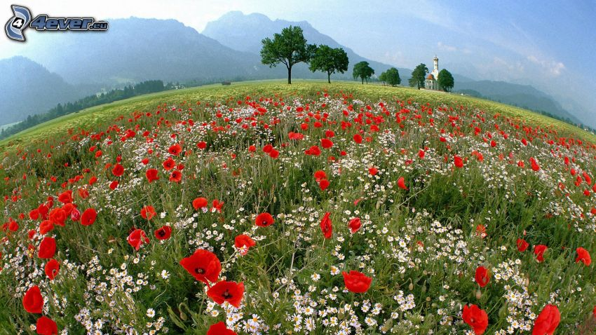 meadow, papaver rhoeas, trees, mountains, church