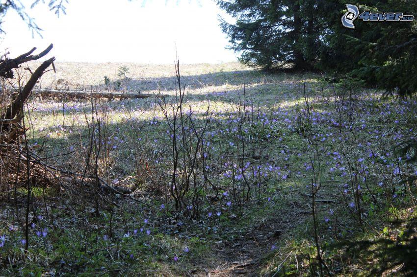 meadow, saffrons, coniferous branches