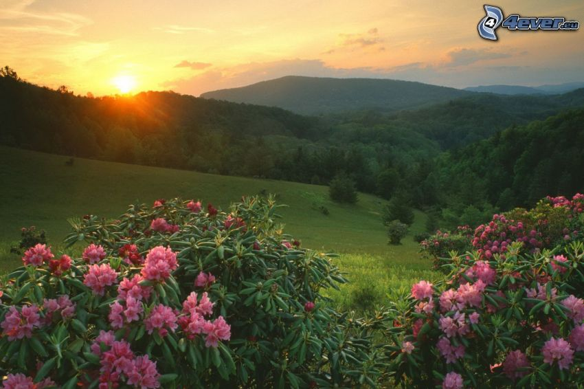 mountain, valley, sunset, pink flowers