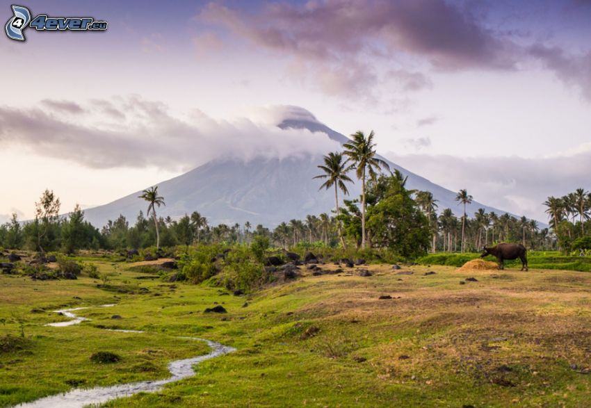 Mount Mayon, palm trees, buffalo, creek, Philippines
