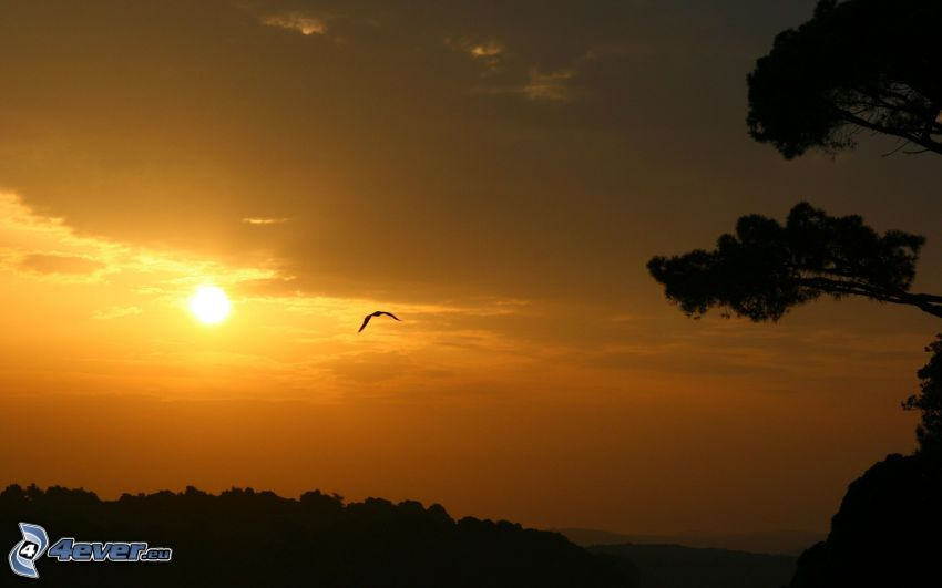 orange sunset, silhouettes of the trees, bird of prey, orange sky