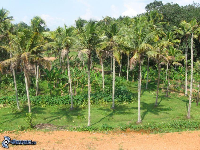 palm trees, greenery