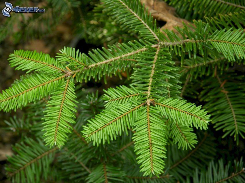 abies, coniferous branches