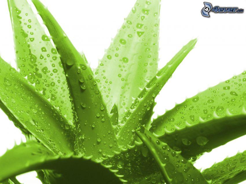 Aloe Vera, dew-covered leaves