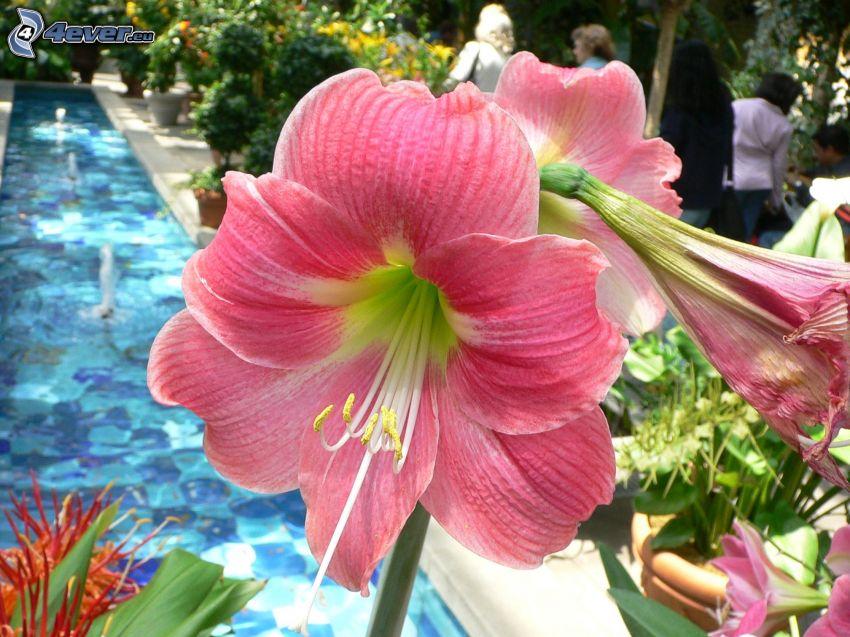 Amaryllis, pink flowers, fountain