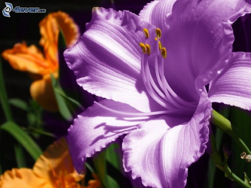 Amaryllis, purple flower