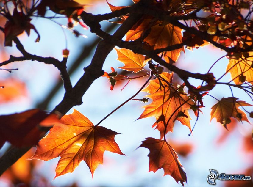 autumn leaves, branch