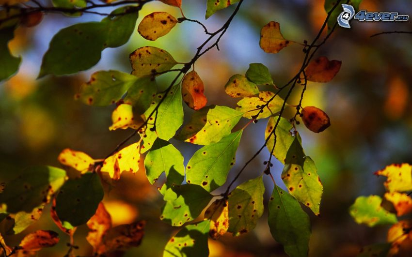 autumn leaves, branches